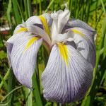 Iris ensata Aquamarin