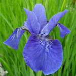 Iris sibirica selection