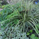 Carex morrowii Ice dance u pratnji pakujca i srebrne mrtve koprive