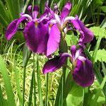 Iris ensata Aiogata