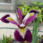 Iris versikolor Kermesina