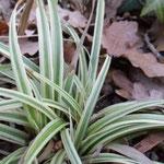 Carex morrowii Silver sceptre tvori svjetle busene u sjeni, među otpalim lišćem
