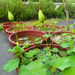 Lotusi