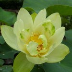 Nelumbo Baby yellow - patuljasti lotus