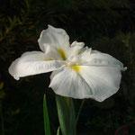 Iris ensata Fuji Yama