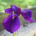 Iris ensata Oase
