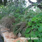 Carex comans Bronce u pratnji Aquilegie canadensis