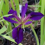 Iris x fulvala