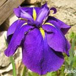 Iris ensata Rampo
