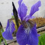 Iris sibirica selection