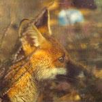Cyprien, mon renard élevé au biberon. Sauvé in-extremis des mains des chasseurs qui ont exterminé sa mère et ses frères et sœurs en enfumant leur terrier.