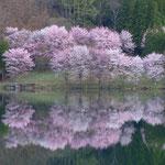 中綱湖畔の大山桜