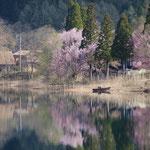 青木湖の大山桜