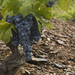 Bild: Carinyena-Trauben kurz vor der Ernte