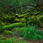 Ein Farn im Eibenwald