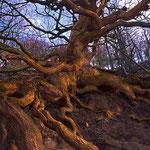 Medusas Schlangenbaum, Kellerwald