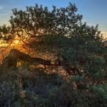 Uralte Krüppelkiefer, Pfälzer Wald