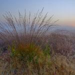 Gewöhnliches Pfeifengras bei Sonnenaufgang