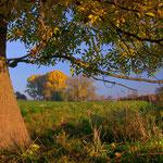 Herbstlich gefärbte Esche bei Lachen Speyerdorf, Pfalz