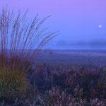 Gewöhnliches Pfeifengras vor dem untergehenden Mond