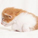 Gimlet de Tsavo - Hembra roja y blanca