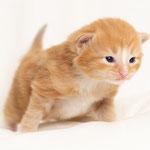 Ginger de Tsavo - Hembra roja y blanca