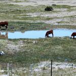Kühe haben wir nur ganz wenige gesehen ...