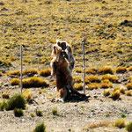 ganz Argentinien ist eingezäunt - und immer wieder bleibt ein Tier am Zeun hängen - sehr traurig