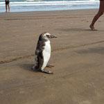 der kleine Pinguin hat sich an den Strand verirrt