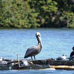 auch hier sind unter vielen anderen Wasservögeln auch die Pelikane