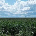 riesen Maisfeldern