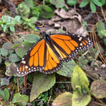 wunderhübsche Monarchfalter - Spanisch Mariposa