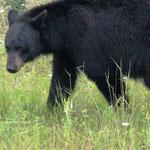 Schwarz-Bär