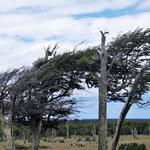 vom Wind gebeutelt