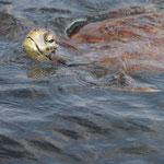auch eine See-Schildkröte kommt vorbei