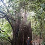 ein riesen Ceibo-Baum ...