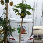 Caracho steht mal nicht bei Kokusnüssen, sondern am Papayabaum