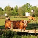 und die Kühe staunen, was hier los ist