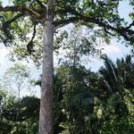 riesen Bäume