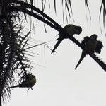 und die sitzen neben unserem Caracho im Baum