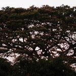 riesen ausladende Bäume