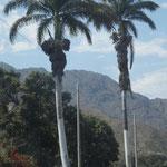 auch Palmen wachsen hier noch