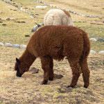 endlich sehen wir auch mal ein Lama