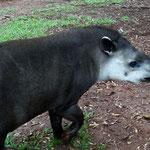 dieser Tapir lebt auf dem Campingplatz