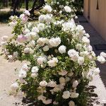 vor den Bádern diese húbschen Rosen