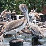 und mal wieder die Pelikane - lange nicht gesehen!