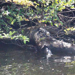 ein Baby-Krokodil