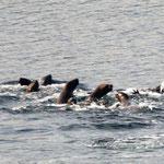 kleine Seehundfamilie