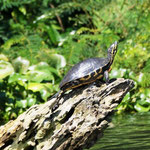 Tortuga - Schildkröte in Model-Position