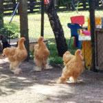die lustigen Hühner waren unsere Nachbarn.